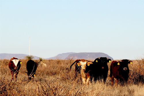 Criollo cattle
